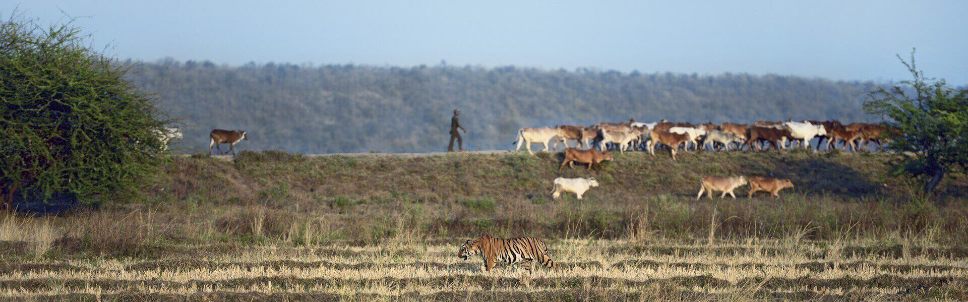 Tiger and cattle Tadoba