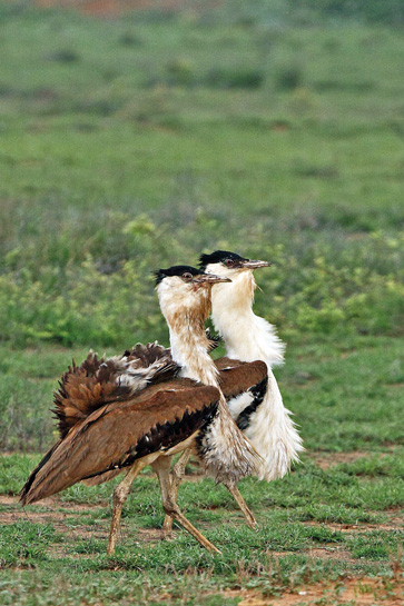 Easily identified by its characteristic long neck and legs, the female Great Indian Bustard is smaller than the male and lacks the gular pouch, which males inflate when displaying or calling.