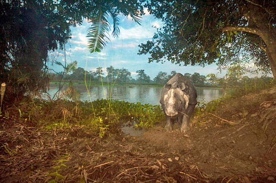 This image, says Steve Winter, encapsulates a perfect view of Kaziranga. Early in the pre-dawn hour, a rhino emerges from the water after feeding on hyacinth. It reveals a primaeval Kaziranga - one though surrounded by humanity, still holds on to the wild, where tigers still live with rhinos and elephants.