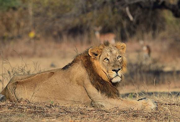 8,000 e-eyes to count lions across 25,000 sq km in Gir