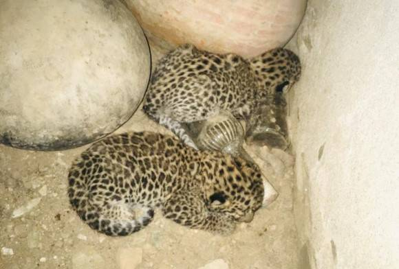 The Lost Cubs of Rajsamand