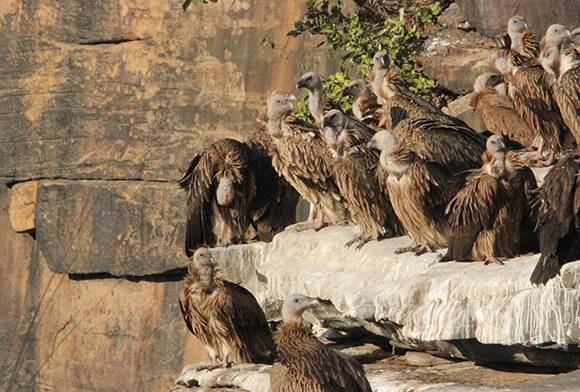 The Great Indian Vulture Decline