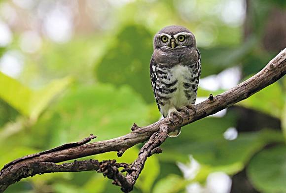 The Forest Owlet