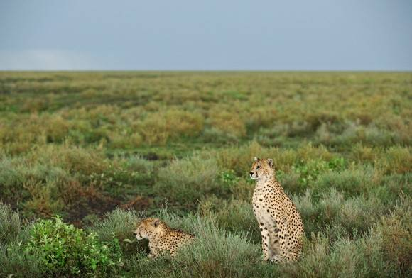 The Call of the Cheetah