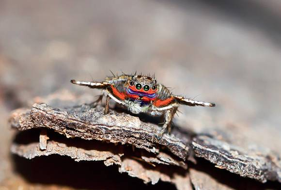 Courting A Rainbow Jumper