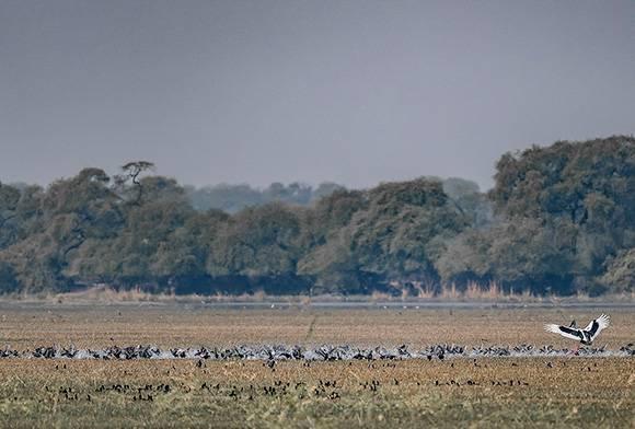 Noa-Dehings White-bellied Herons