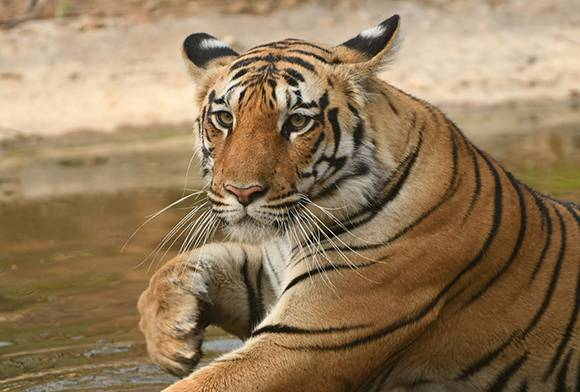 Fateh, You Are Among Your Tigers Now...