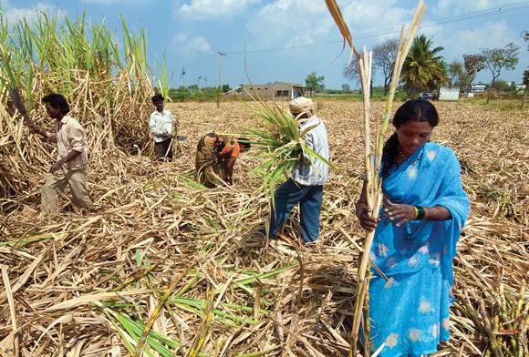 The Sugarcane Tigers Of Pilibhit