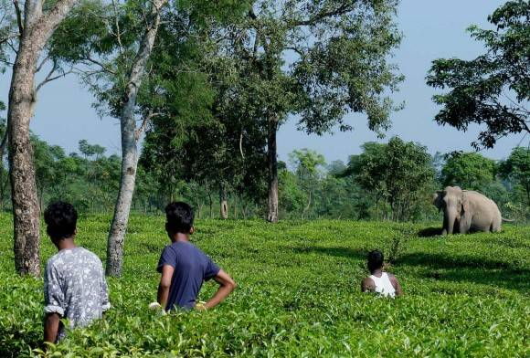 Spilling the Tea: Life and Wildlife in North Bengal's Tea Estates
