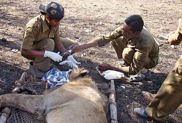 The Gir Lion Protection Team