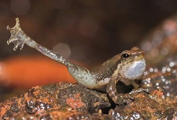 Dancing Frog Micrixalus Sp.