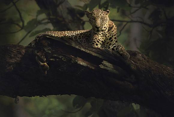 Dawn of the Leopard