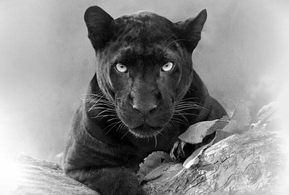 Portrait of the Panther