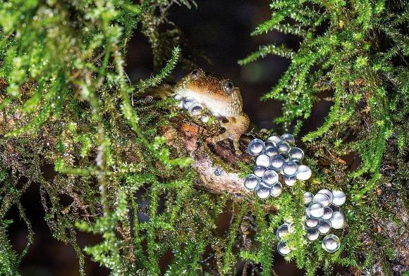 Castle Rock Night Frog Nyctibatrachus Petraeus