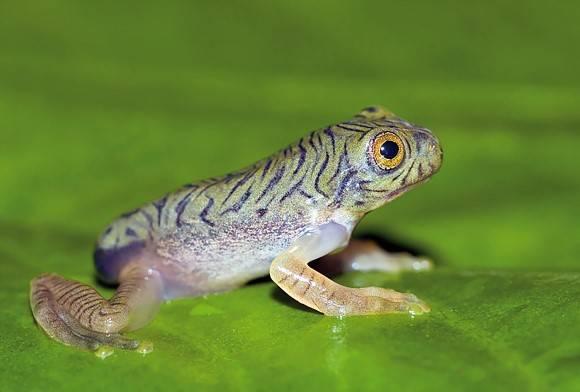 Anamalai Flying Frog Rhacophorus Pseudomalabaricus
