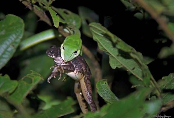 Burrowing Frog and Green Vine Snake Ahaetulla Nasuta