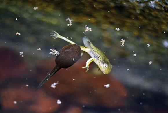 Malabar Gliding Frog Rhacophorus Malabaricus
