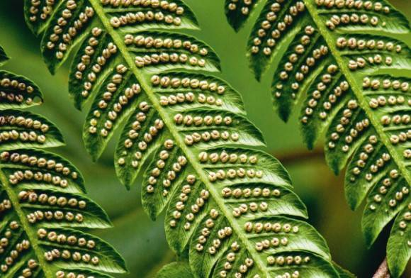 Fern leaf and spores
