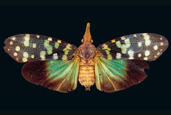 Lanternfly Pyrops sp.