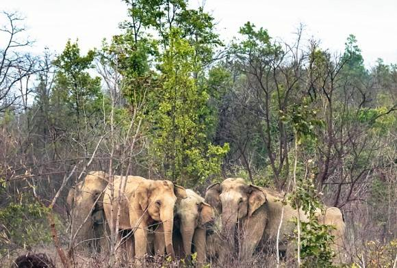 Indian Elephant Herd