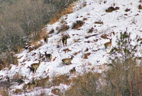 Kashmir stag