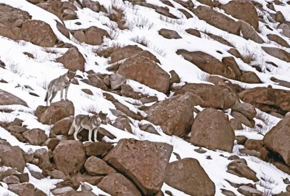 Tibetan Wolf