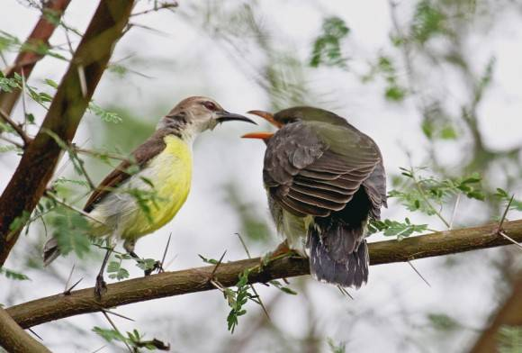 Purple-rumped Sunbird and Grey-bellied Cuckoo
