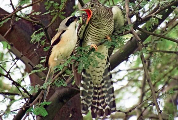 Long-tailed Shrike and  Eurasian Cuckoo