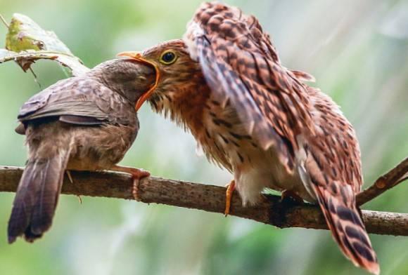 Jungle Babbler and  Common Hawk Cuckoo