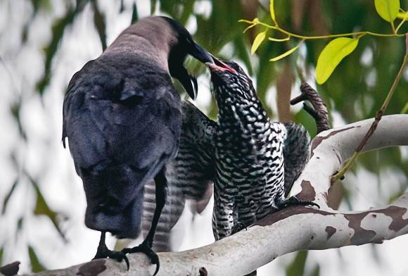 House Crow and Asian Koel