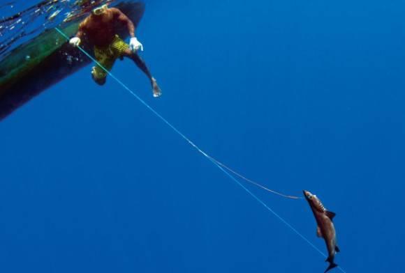 Shark - Order: Squaliformes