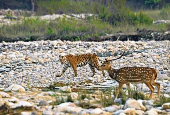 Royal Bengal tiger and chital