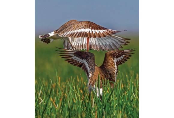 Western Black-Tailed Godwit