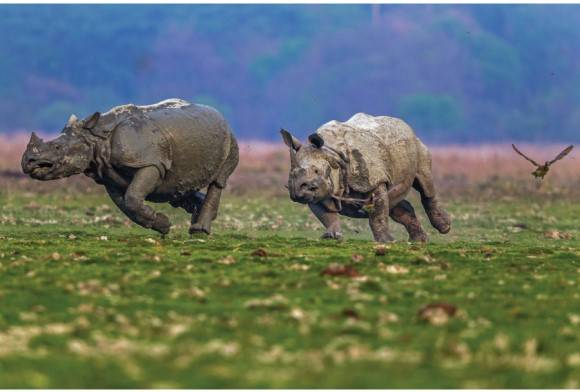 Great Indian one-horned rhinoceros