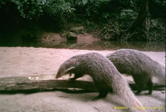 Crab-eating mongoose