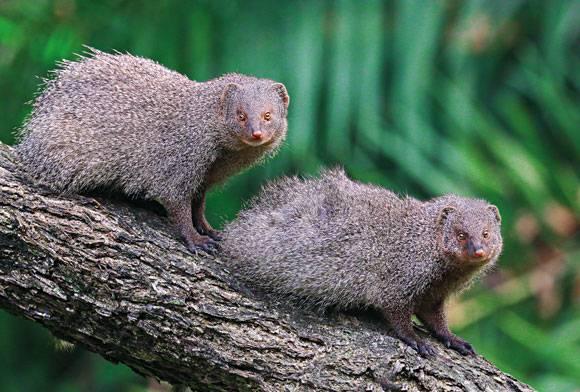 Indian grey mongoose Herpestes edwardsi