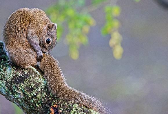 Irrawaddy squirrel Callosciurus pygerythrus