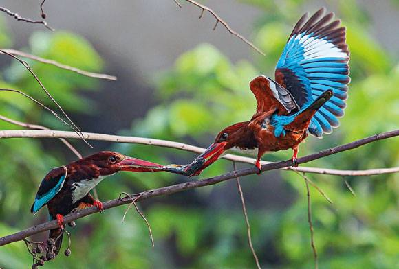 White-throathed Kingfishers Halcyon smyrnensis