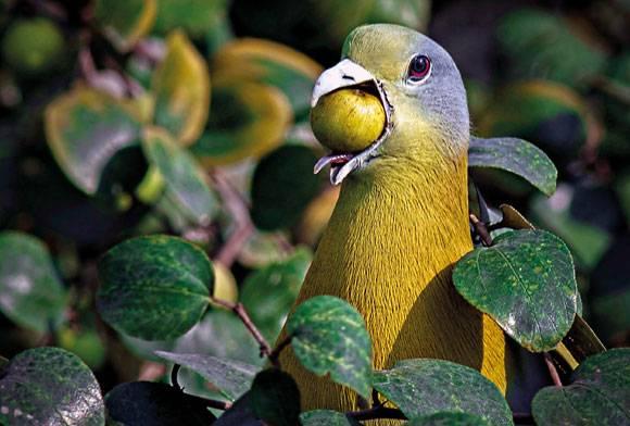 Yellow-footed Green-pigeon Treron phoenicoptera