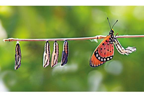 Tawny coster butterfly Acraea terpsicore