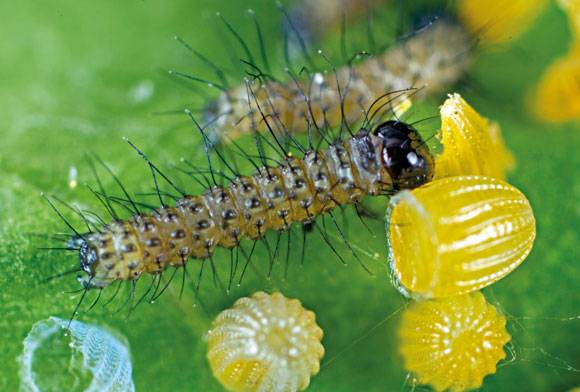 Tawny coster caterpillar Acraea terpsicore