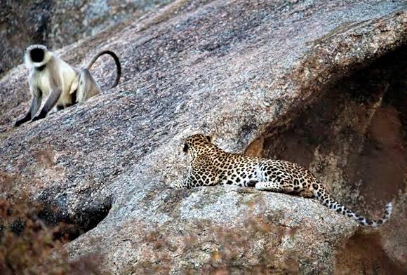 Leopard and Langur