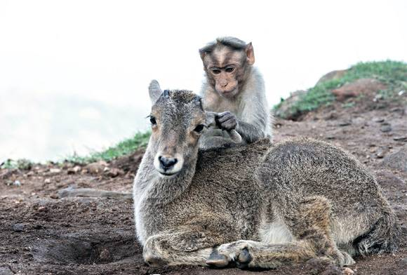 Macaque and tahr
