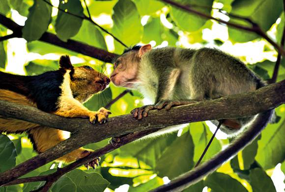 Squirrel and macaque