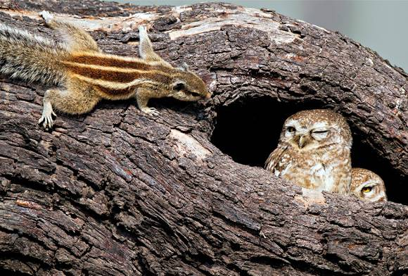 Squirrel and owlets