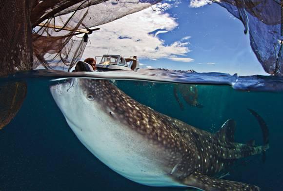 Human and whale shark