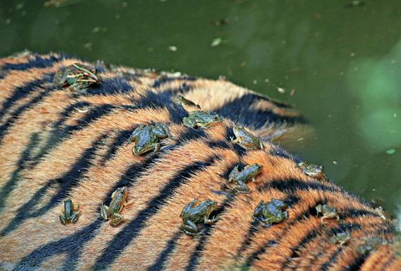 Bullfrogs and tiger