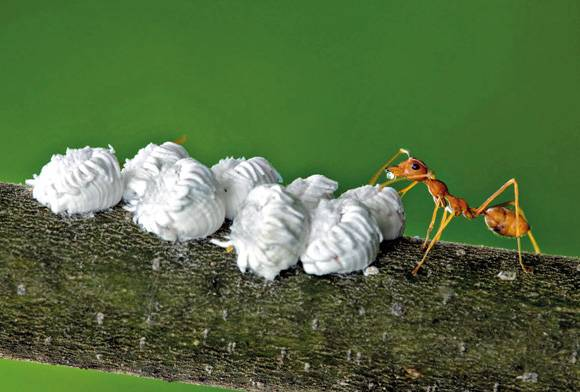 Ant and scale insects
