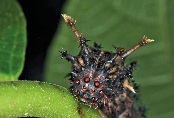 Commander Butterfly Caterpillar