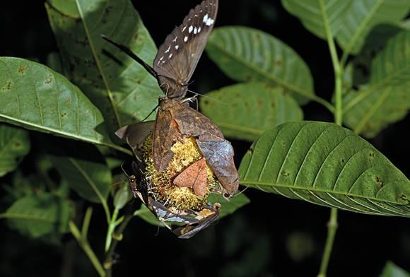 Moths feeding on Kadamb flowers